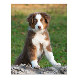 Foto Mascota australiano lindo Paperprint del perrito