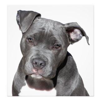 Foto Pitbull Terrier americano