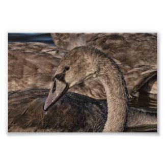 Foto Pollo del cisne del cisne mudo