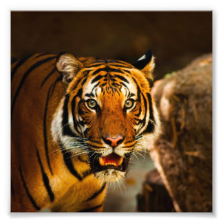 Foto Retrato imponente del tigre