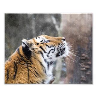 Foto Tigre anhelante del invierno
