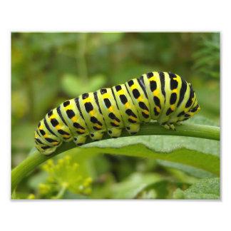 Foto Tigre del este Swallowtail Caterpillar