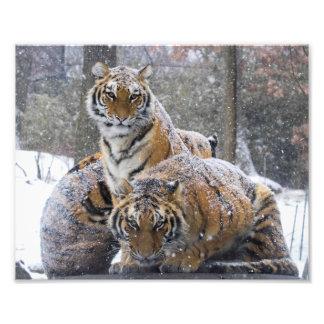 Foto Tigres del invierno
