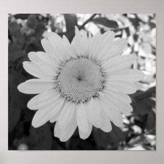 Fotografía blanco y negro de la margarita póster