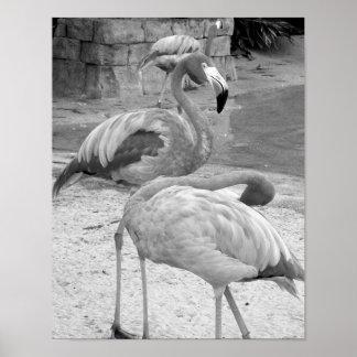 Fotografía blanco y negro de los flamencos póster