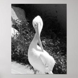 Fotografía blanco y negro del pelícano póster