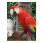 Fotografía del Macaw del escarlata Postal