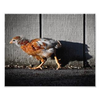Fotografía del pollo del corral