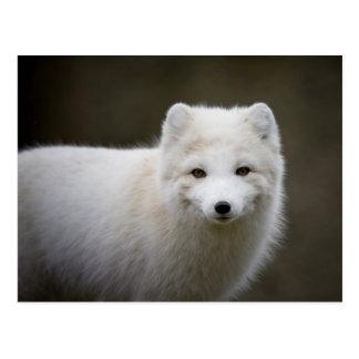 Fox ártico postal