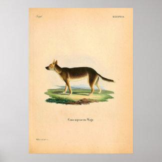 Fox nativo - Australia - ejemplo circa 1840 Póster