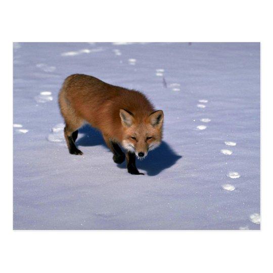 Fox rojo en nieve postal