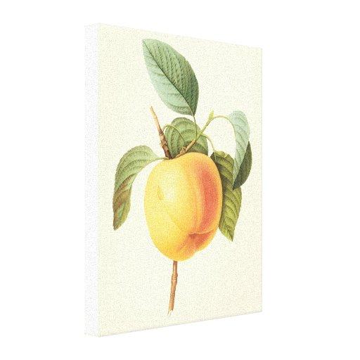 Fruta de la comida del vintage, Calville Apple por Impresión En Lienzo Estirada