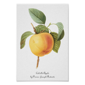 Fruta de la comida del vintage, Calville Apple por Póster