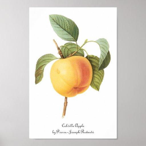 Fruta de la comida del vintage, Calville Apple por Impresiones