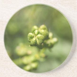 Fruta de una ruda común (graveolens del Ruta) Posavasos