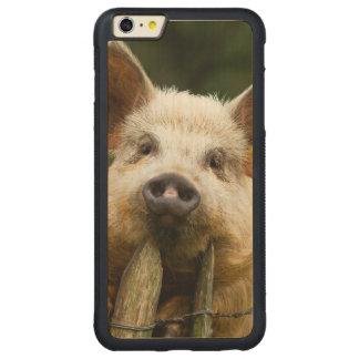 Funda Protectora De Arce Para iPhone 6 Plus De Car Dos cerdos - granja de cerdo - granjas del cerdo