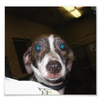 Galgo italiano asustado en una libra de perro loca impresiones fotográficas