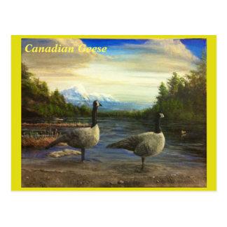 Gansos canadienses en el lago beaver. - postal
