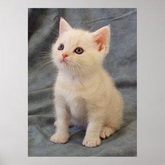 Gatito americano de pelo corto póster