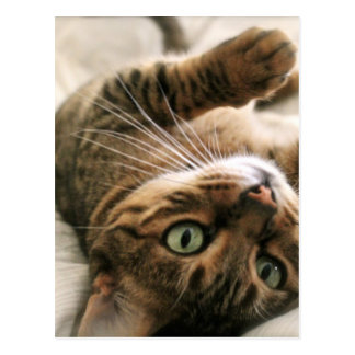 Gatito manchado Brown lindo del gato de Bengala Postal