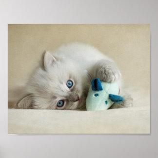 gatito viejo de Ragdoll de 6 semanas Póster