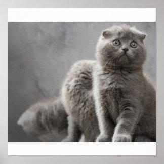 Gatitos del doblez del escocés posters