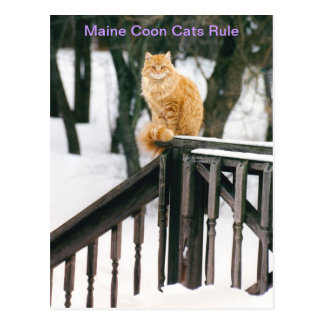 Gato de Coon magnífico de Maine en postal del