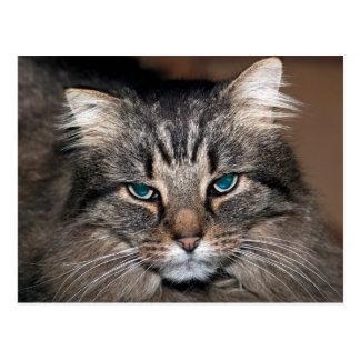 Gato de Tabby Postal