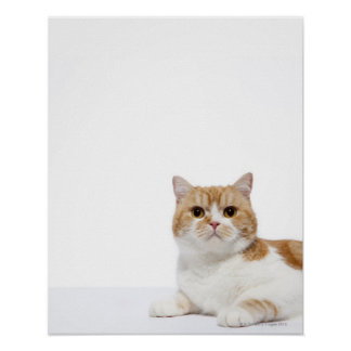 Gato del doblez del escocés póster