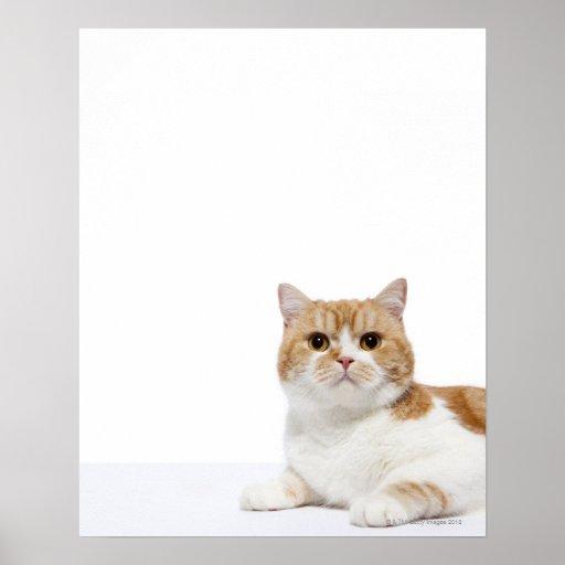 Gato del doblez del escocés poster
