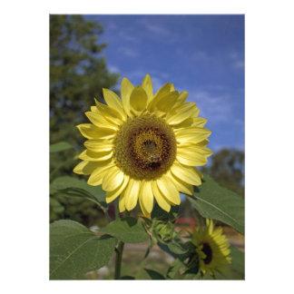 Girasol perfecto del amarillo del verano en cielo invitacion personalizada