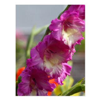 Gladiolo del jardín (hortulanus del gladiolo x) postal