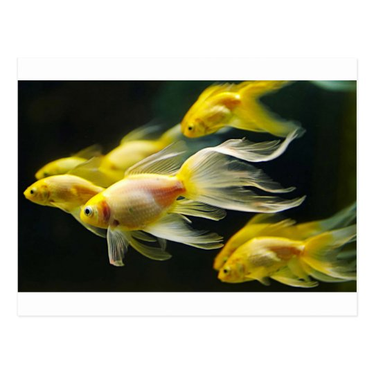 Goldfish de lujo amarillo del acuario postal