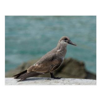 Golondrina de mar juvenil del inca (inca de postal