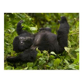 Gorila de montaña juvenil 2 postal