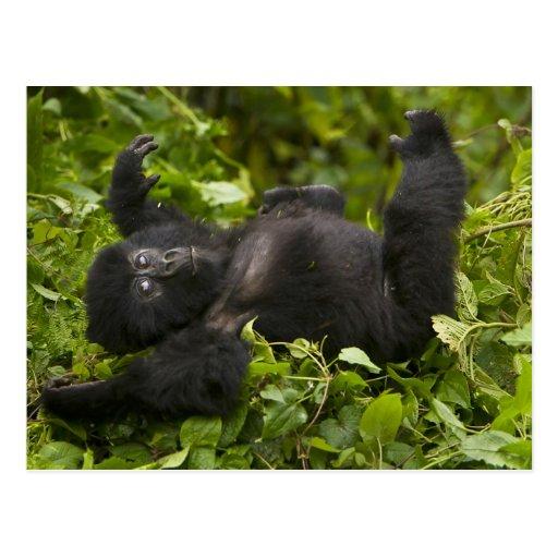 Gorila de montaña juvenil 2 tarjeta postal