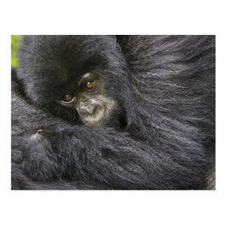 Gorila de montaña juvenil 3 postal