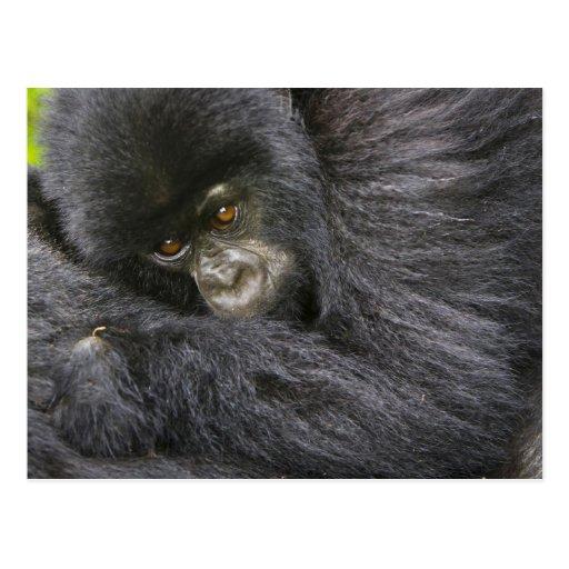 Gorila de montaña juvenil 3 tarjeta postal