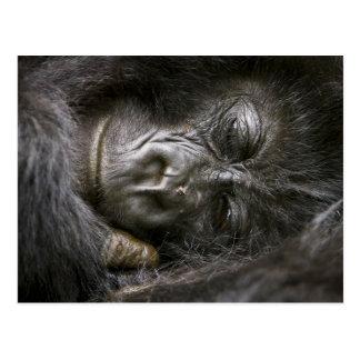 Gorila de montaña juvenil 4 tarjeta postal