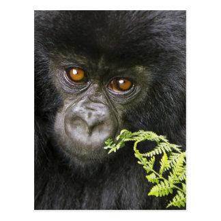 Gorila de montaña juvenil postal
