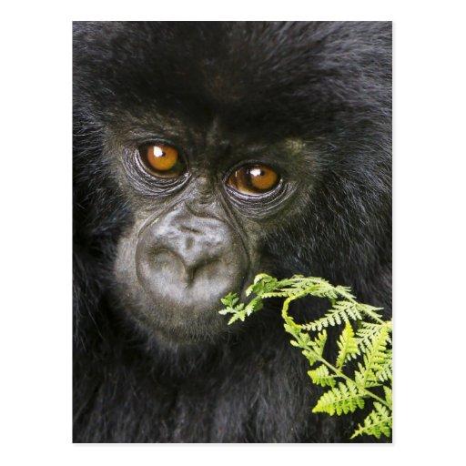 Gorila de montaña juvenil postales
