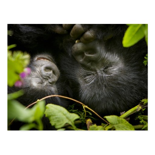 Gorila de montaña juvenil y su madre tarjeta postal