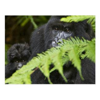 Gorilas de montaña femeninos y juveniles postal