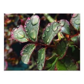 Gotas de agua en las hojas color de rosa del árbol impresiones fotograficas