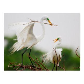 Gran actividad de la cría del Egret (Ardea Alba) Postal