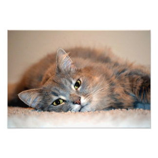 Gris, moreno, gato de pelo largo blanco de Shirley Fotos