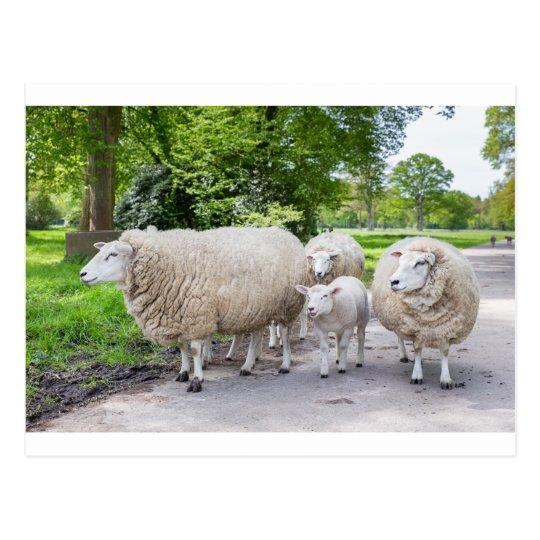 Grupo de ovejas blancas y de cordero en el camino postal