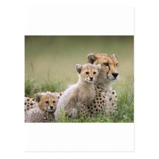 Guepardo con su Cubs; Maternidad Tarjetas Postales
