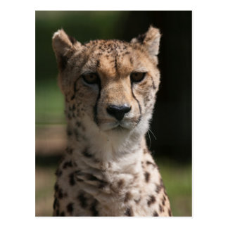 guepardo en la selva postal
