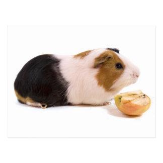guinea pig eating an apple postal